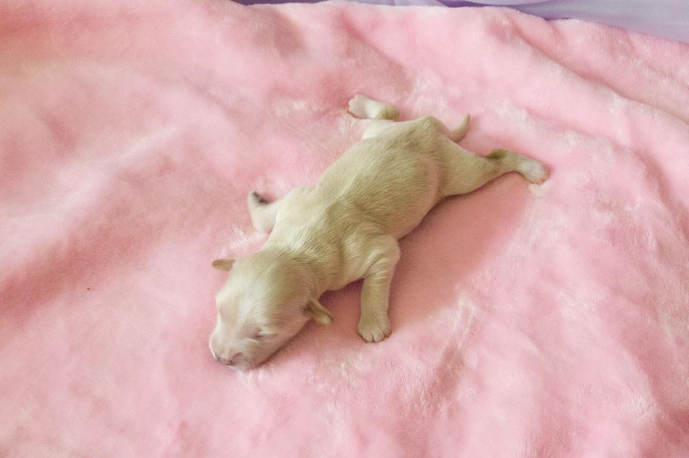 щенок китайской хохлатой