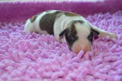 Фото новорожденного щенка китайской хохлатой