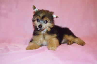 Oro Antenati Asilija пуховый щенок китайской хохлатой