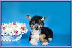 купить щенка китайской хохлатой в Москве