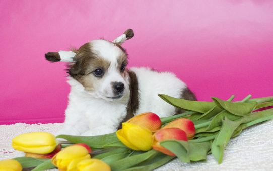 купить щенка китайской хохлатой