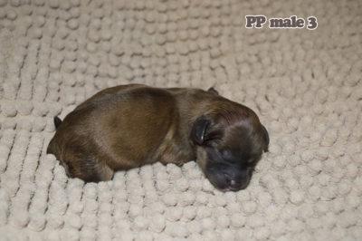 новорожденный щенок китайской хохлатой