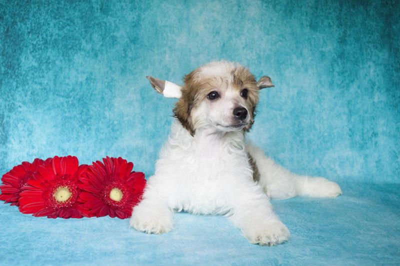 купить пухового щенка китайской хохлатой