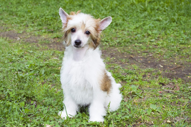 в продаже щенок китайской хохлатой собаки