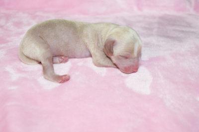 новорожденные щенки китайской хохлатой