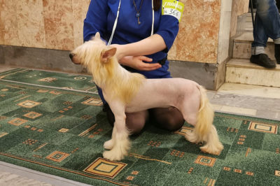 Ognenny Lotos Parker chinese crested dog